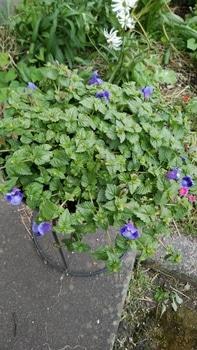 初めてのサマーウェーブをこんもり咲かせたい。 花が増えてきました。