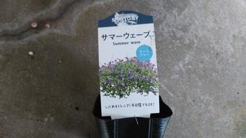 初めてのサマーウェーブをこんもり咲かせたい。