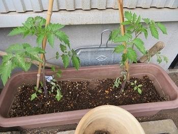 ミニトマトを種から・・・ プランターで成長中・・