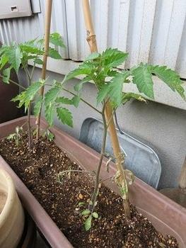 ミニトマトを種から・・・ 下の方の葉っぱが枯れた・・