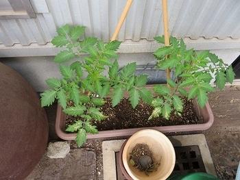 ミニトマトを種から・・・ 葉っぱが・・