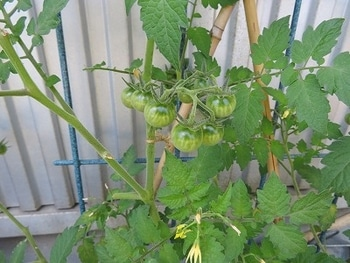 ミニトマトを種から・・・ いつまで青いの??