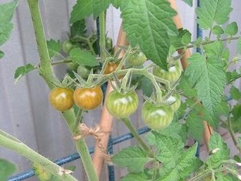 ミニトマトを種から・・・ 色付いてきました・・・