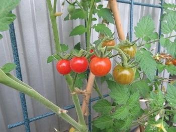 ミニトマトを種から・・・ 収穫できそう!!