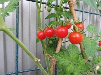 ミニトマトを種から・・・ 収穫・・しちゃう?