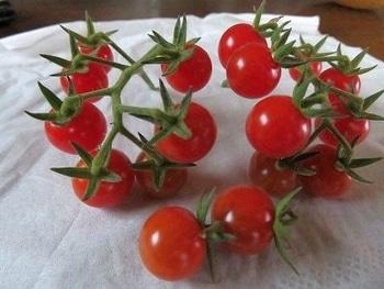 ミニトマトを種から・・・ 収穫できました・・