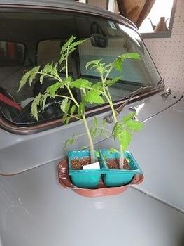 ミニトマトを種から・・・ プランターに植えて外に出そう・・
