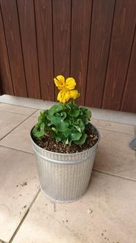 ナスタチウムを育てる!!! 4月29日:植え替え