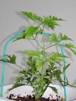 【1】挿し木で増やして、来春 花を咲かせたい! 8月29日やっと芽(蔓)動く↑は9/24