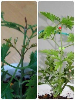 【1】挿し木で増やして、来春 花を咲かせたい!  11月15日3箇所から動き出す!☘️