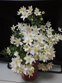 【1】挿し木で増やして、来春 花を咲かせたい!