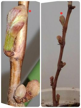 食べたブドウの種から育てる!  3月16日動き出す☘️☀️