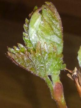 食べたブドウの種から育てる!  3月23日葉の勢い☘️