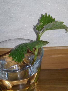 食べたブドウの種から育てる!  4月3日失敗!☘️😅