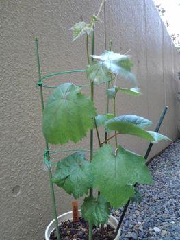 食べたブドウの種から育てる!  5月1日支柱を超えました☘️