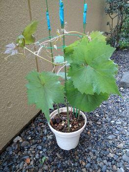 食べたブドウの種から育てる!  5月10日誘引しました☘️