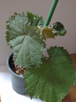食べたブドウの種から育てる! 7月29日葉に変化!