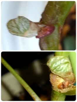 食べたブドウの種から育てる!  8月27日芽が出ました☘️☘️