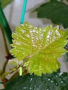 食べたブドウの種から育てる!  10月11日 先端が動き出しました☘️
