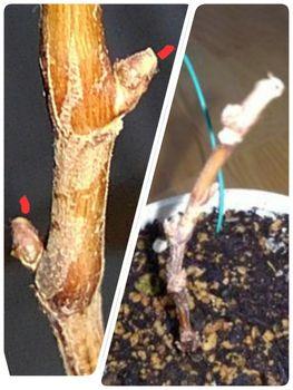 食べたブドウの種から育てる!  12月18日剪定しました
