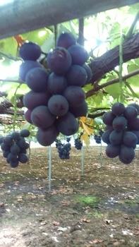 食べたブドウの種から育てる!
