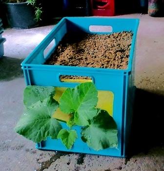 タテニワ・垂直栽培 収納ボックスでカボチャ栽培Ⓡ