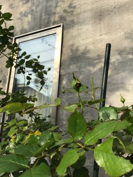 窓辺のロンサール2020 20200503 つぼみ、かじられる