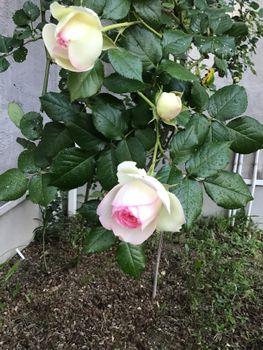 窓辺のロンサール2020 20200511 初花