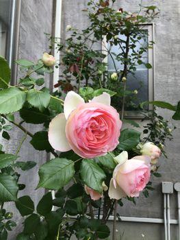 窓辺のロンサール2020 20200516 花と重力
