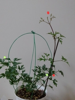 【2】水挿しからの挿し木苗で☘️来春花を咲かそう~🌸  11月15 ☘️凄い!二ヵ所から蔓が!