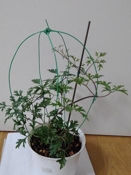 【2】水挿しからの挿し木苗で☘️来春花を咲かそう~🚩終了  11/21日蔓を絡めました☘️
