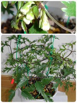 【2】水挿しからの挿し木苗で☘️来春花を咲かそう~🚩終了  2月26日蕾だとわかる!