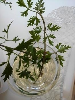 【2】挿し木…  挿し木から花が咲くまで! 4月25日剪定後水に挿して置きました。