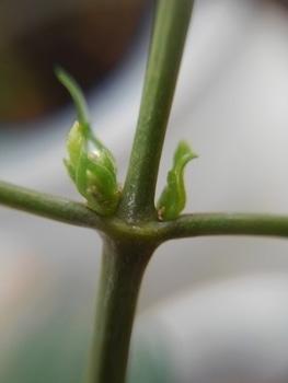 【2】挿し木…  挿し木から花が咲くまで! 7月3日新芽