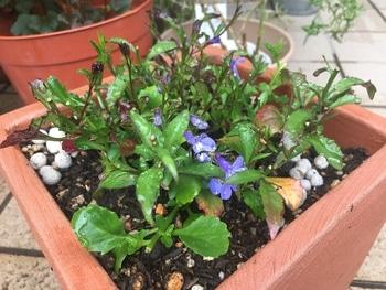 瑠璃色のかぜが吹く庭で。 蕾とライトブルーの花がちらほら