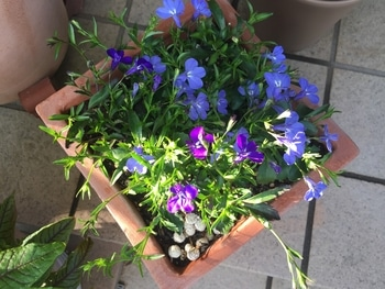 瑠璃色のかぜが吹く庭で。 花数も増えたみたい。