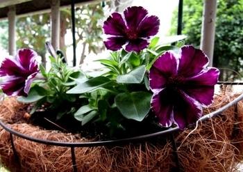 マーべラスに咲いてね 咲きはじめました