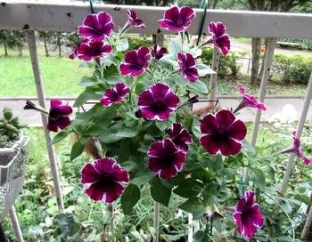 マーべラスに咲いてね 7月24日