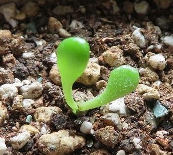 塊根 チレコドン パニクラーツス(パニクラータ) ようやく調子が上向きに・・