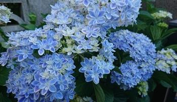 アジサイ 万華鏡開花 たくさん咲いた部分