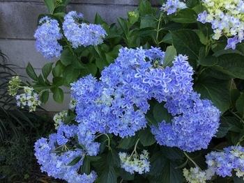 アジサイ 万華鏡開花 青い青い