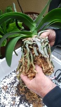胡蝶蘭を咲かせることが出来るか。 根をほぐします。