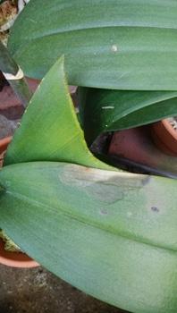 胡蝶蘭を咲かせることが出来るか。 葉やけさせてしまいました。