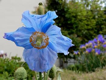 青いケシ(ベトニキフォリア)の花を楽しもう(^-^)ノ🌼地植えー幾つ咲くかな♪  2番花が咲きました~🌼