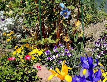 青いケシ(ベトニキフォリア)の花を楽しもう(^-^)ノ🌼地植えー幾つ咲くかな♪  3番花の咲いてる風景