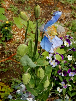 青いケシ(ベトニキフォリア)の花を楽しもう(^-^)ノ🌼地植えー幾つ咲くかな♪ 種が出来る様子とふっくら蕾♪