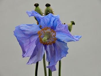 青いケシ(ベトニキフォリア)の花を楽しもう(^-^)ノ🌼地植えー幾つ咲くかな♪  4番花が咲きました~🌼