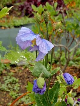 青いケシ(ベトニキフォリア)の花を楽しもう(^-^)ノ🌼地植えー幾つ咲くかな♪  4番花の様子