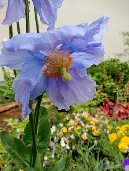 青いケシ(ベトニキフォリア)の花を楽しもう(^-^)ノ🌼地植えー幾つ咲くかな♪  5番花が咲きました~🌼