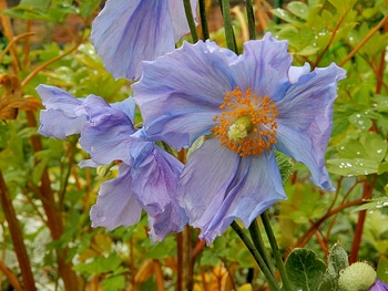 青いケシ(ベトニキフォリア)の花を楽しもう(^-^)ノ🌼地植えー幾つ咲くかな♪  6番花が咲きました~🌼
